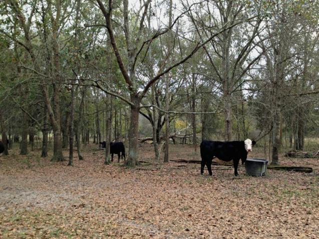 jb-cows